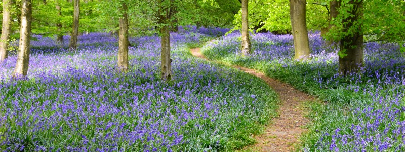Where can I see bluebells near St Ives, Cambridgeshire?